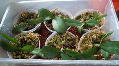 Phalaenopsis Hybrid Sämlinge  - Seite 2 Samlin10