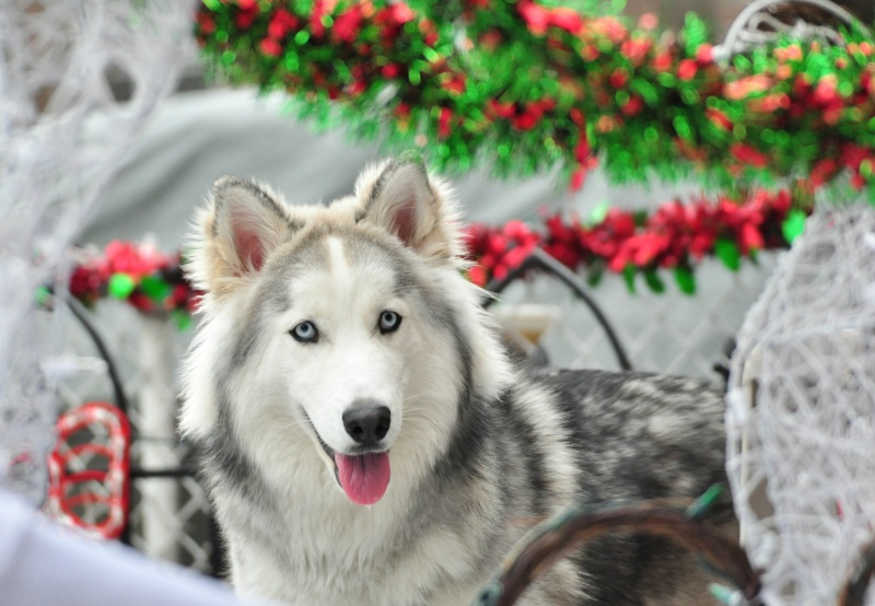 Classic Photos Of Your Huskies - Page 3 Photo10