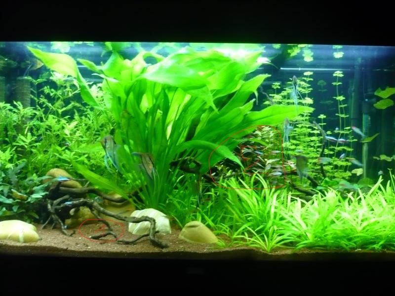 350 litres Amazonien (Rio manacapuru)  - Page 5 P1070110