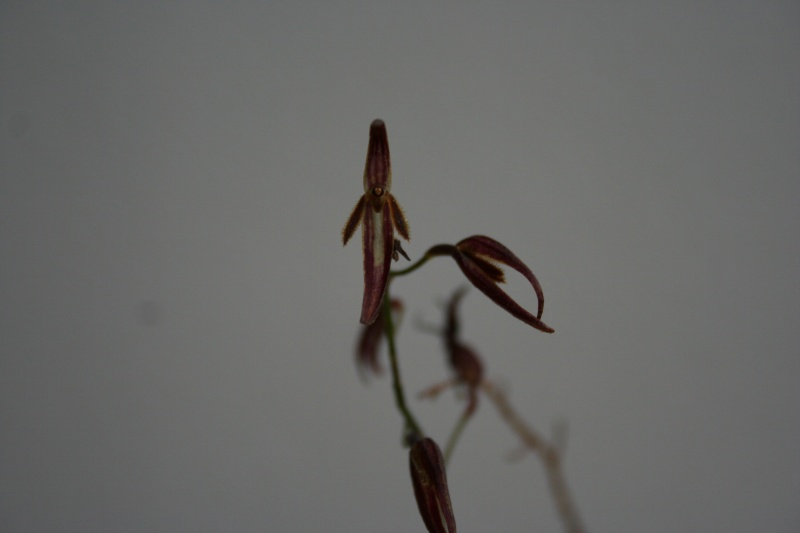 pleurothallis stricta Img_2411