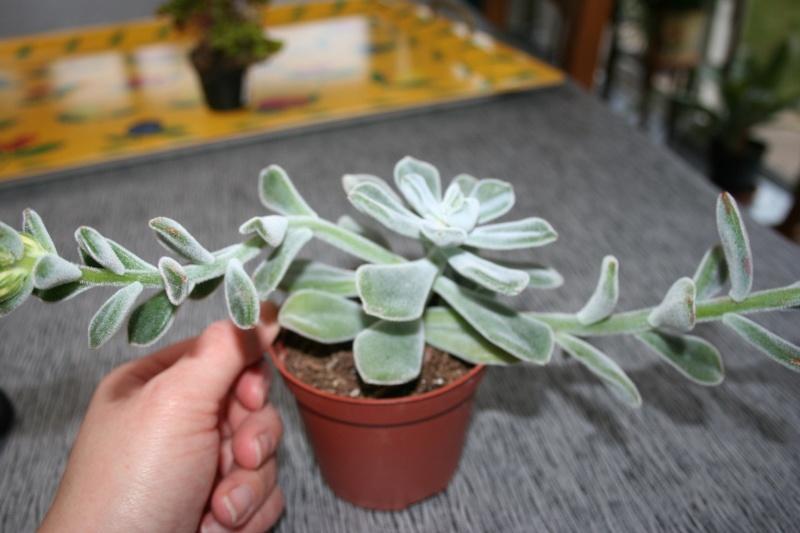 Hatiora salicornoides et Echeveria pulvinata Img_4219