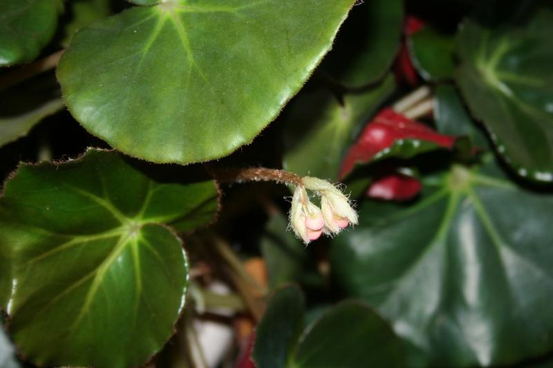 Bégonia 'erythrophylla' Img_4227