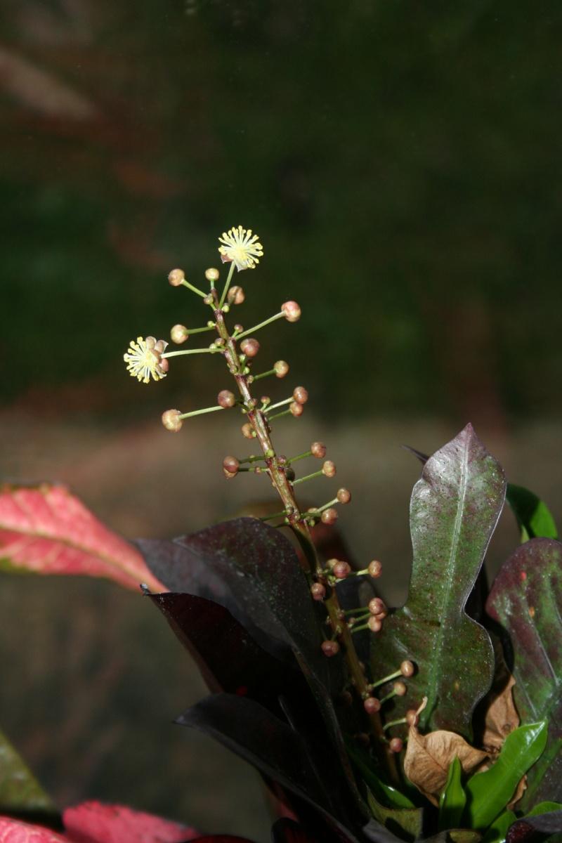 croton en fleur  Img_4231
