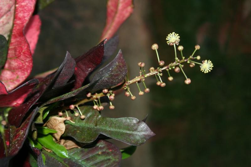 croton en fleur  Img_4232