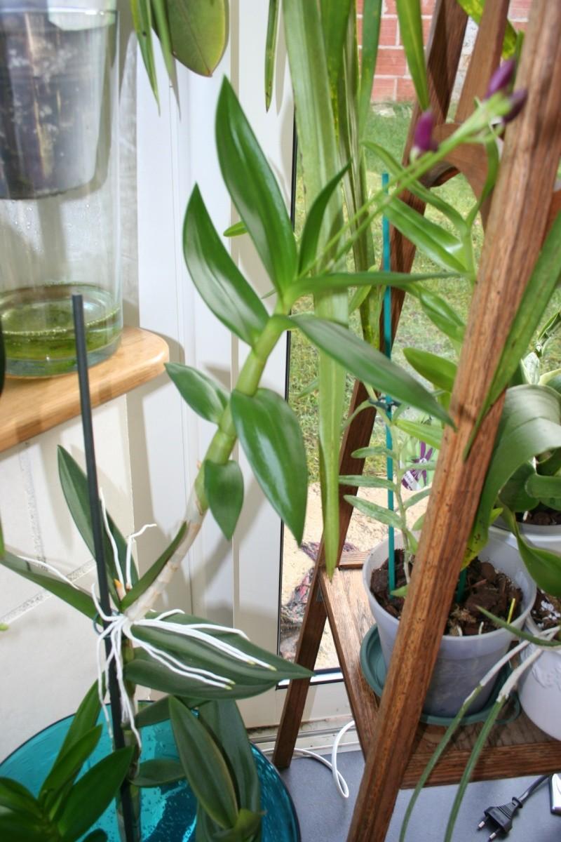 Dendrobium de type phalaenopsis thai black - Page 2 Img_4312