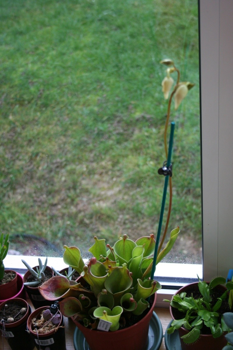 heliamphora, dionae et nepenthes - Page 2 Img_4334