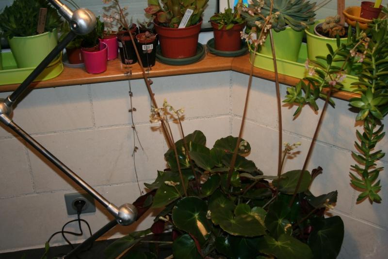 Bégonia 'erythrophylla' - Page 2 Img_4539