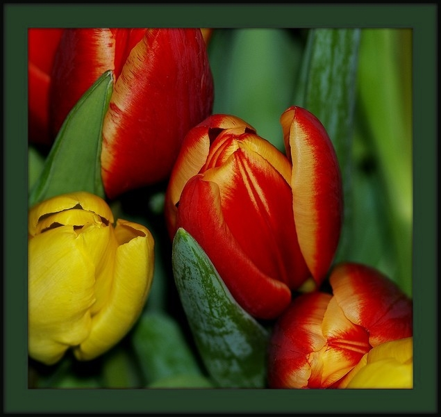 tulipes - Page 2 P1220411