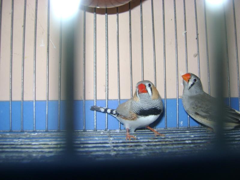 طيوري زيبرا فينش Dsc07910