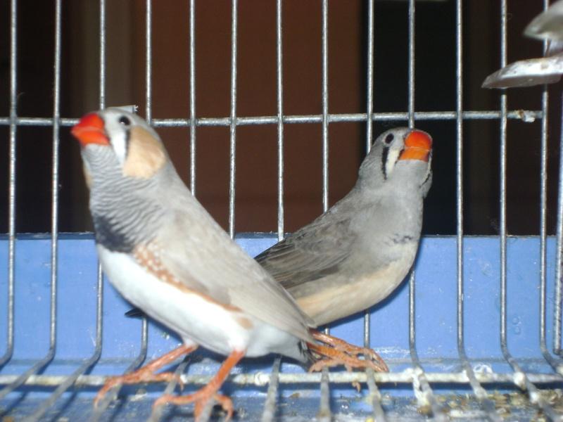 طيوري زيبرا فينش Dsc07911