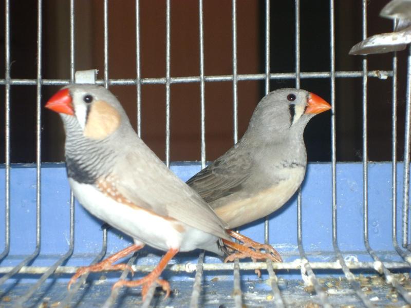 طيوري زيبرا فينش Dsc07912