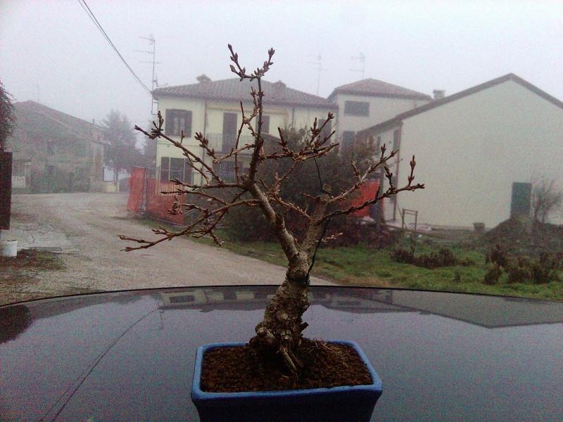 pino mugo inpostazzione  2012-117