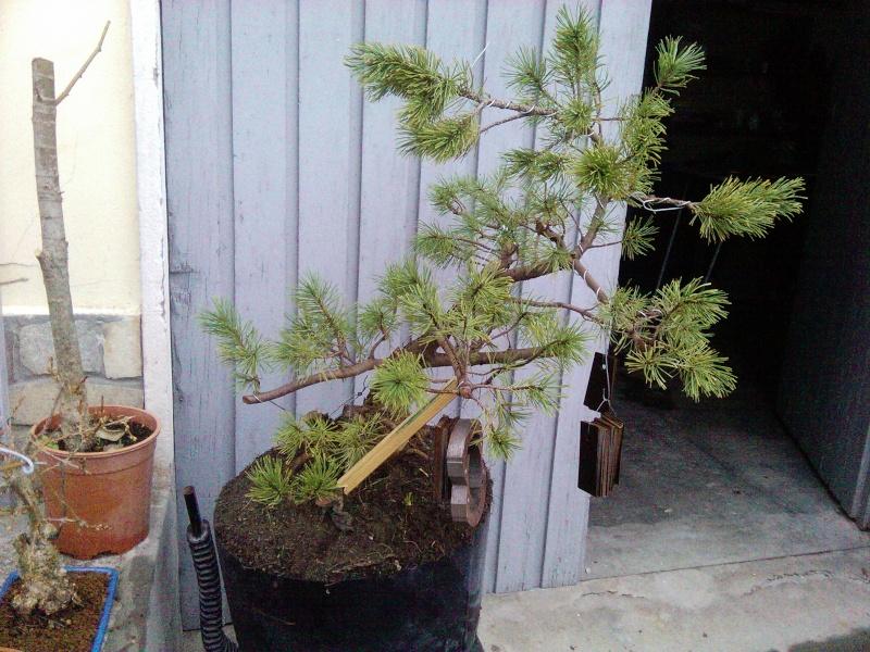 pino mugo inpostazzione  2012-122
