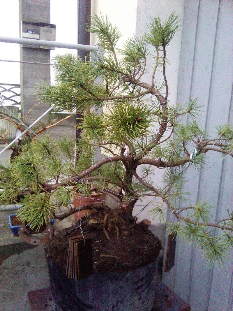 pino mugo inpostazzione  2012-123