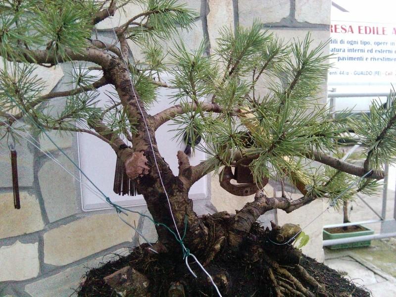 pino mugo inpostazzione  2012-130