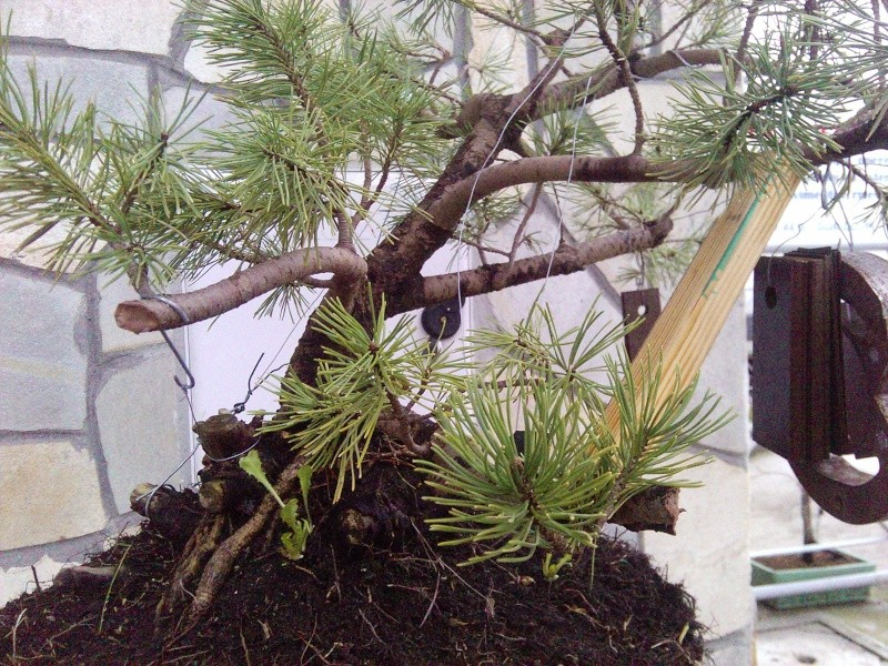 pino mugo inpostazzione  2012-132