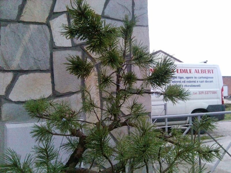 pino mugo inpostazzione  2012-133