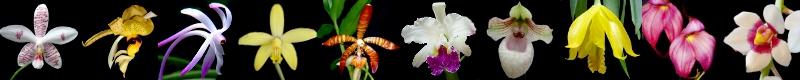 Forum Orchidées Cattlaelia