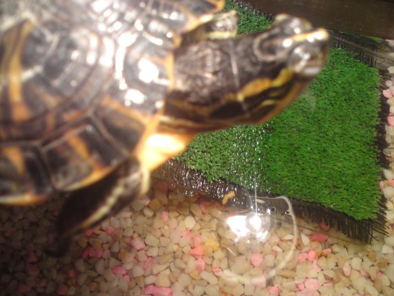 tortue qui ne se nourrie plus avec les yeux fermer  Dsc01010