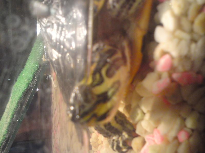 tortue qui ne se nourrie plus avec les yeux fermer  - Page 2 Dsc01019