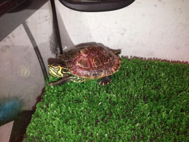 Identification et sexage de ma tortue.... Img_0010