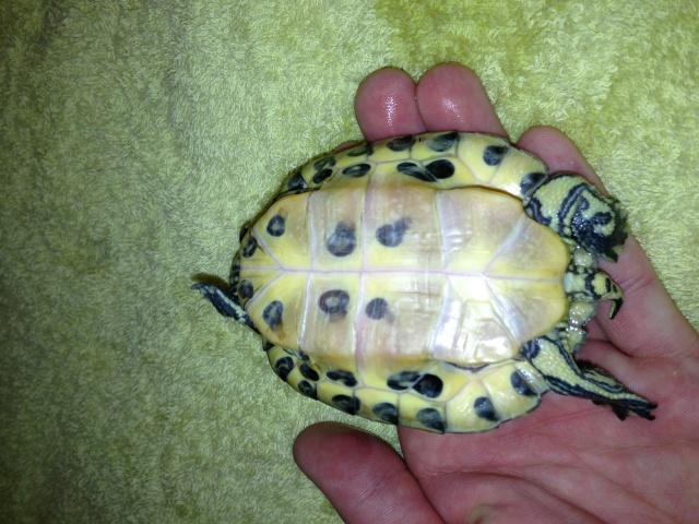 Identification et sexage de ma tortue.... Img_0112