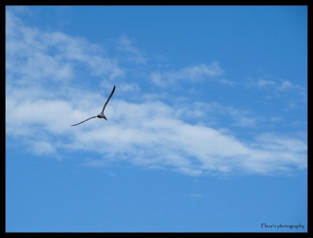 MA PASSION PHOTOGRAPHIE: LES OISEAUX Goelan10