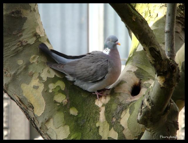 MA PASSION PHOTOGRAPHIE: LES OISEAUX Pigeon10