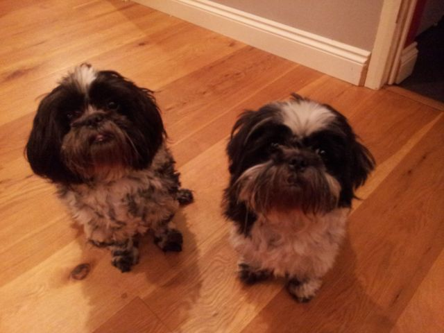 New home for two male shih tzus Dogs211