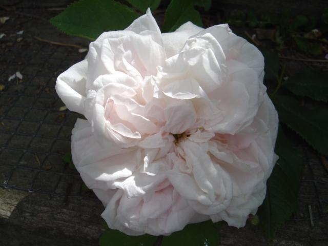 Centfeuilles, les reines du parfum. Fantin Latour Dsc00610