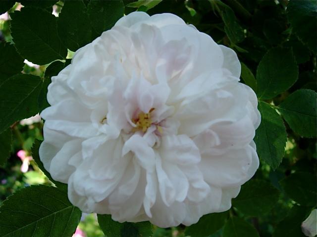 Pompon blanc parfait (Verdier - 1867) Dsc00611