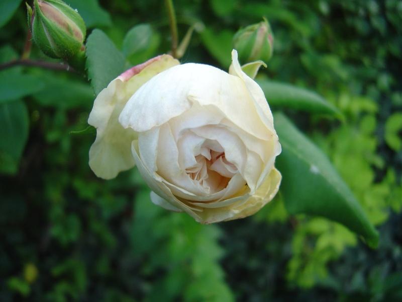 Desprez à fleurs jaunes (Desprez - 1835) Dsc01517