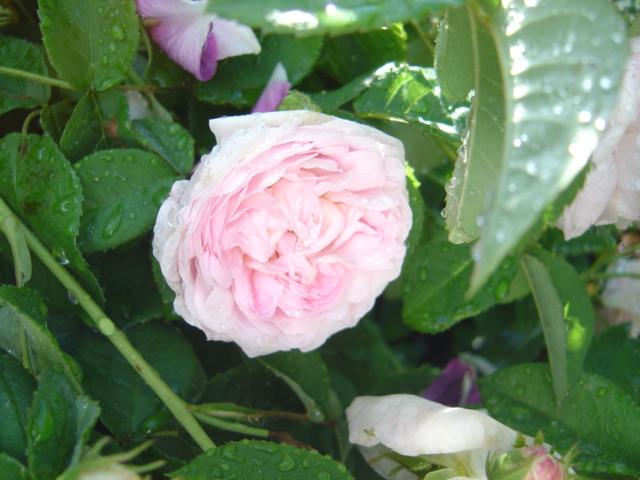 Duchesse de Montebello (Laffay - 1824) Dsc01610