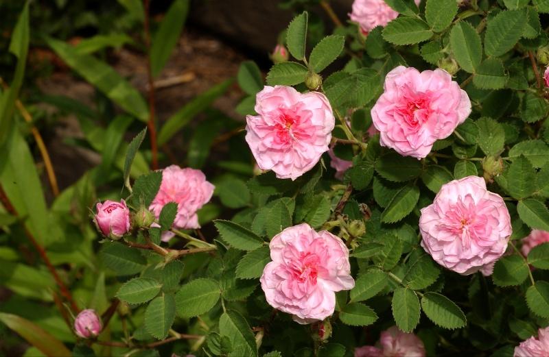 """""""Rose de Meaux"""" - Swet avant 1789 Dsc_7410"""