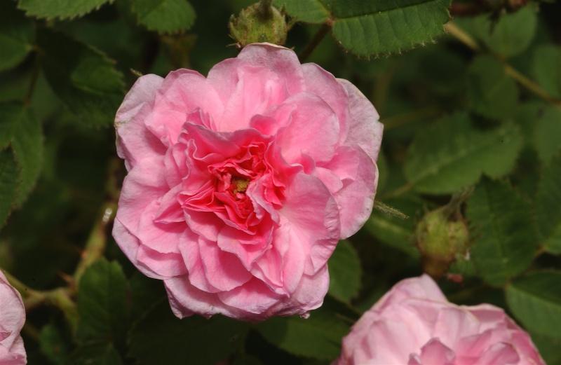"""""""Rose de Meaux"""" - Swet avant 1789 Dsc_7411"""