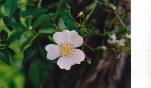 R. longicuspis Img00010
