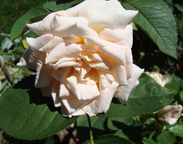 """""""Jardins de Bagatelle""""  Marie-Louise (Louisette) Meilland 1987) Jardin10"""