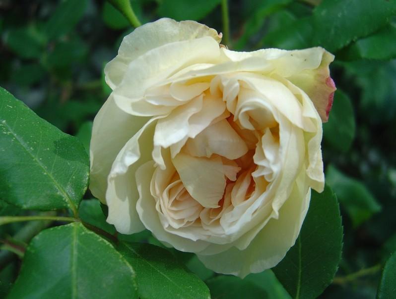 Desprez à fleurs jaunes (Desprez - 1835) Jaune_10