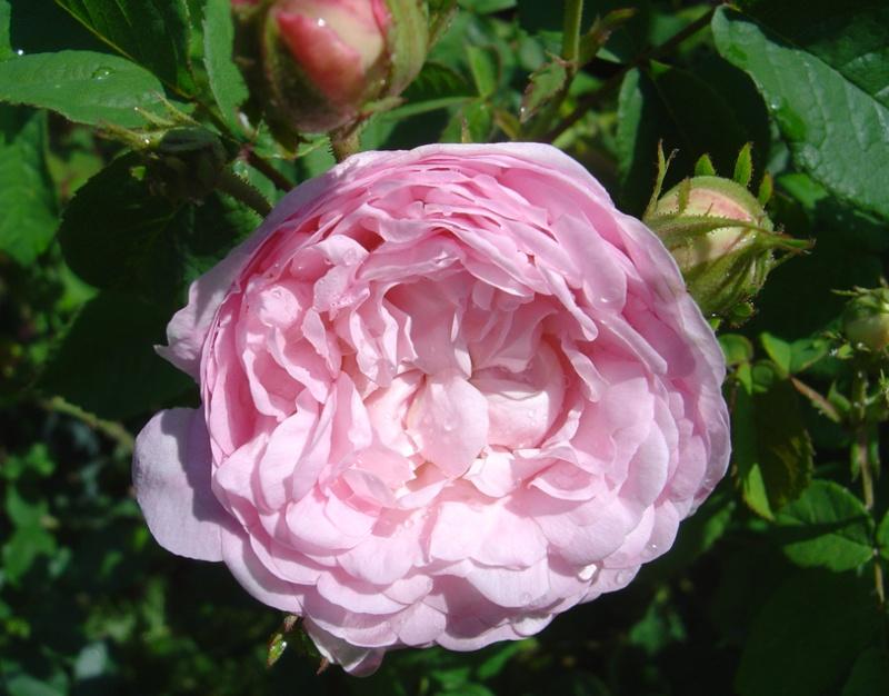 """""""Maiden's Blush Small"""" = Petite Cuisse de Nymphe - Découverte au Kew Gardens 1797 Maiden10"""