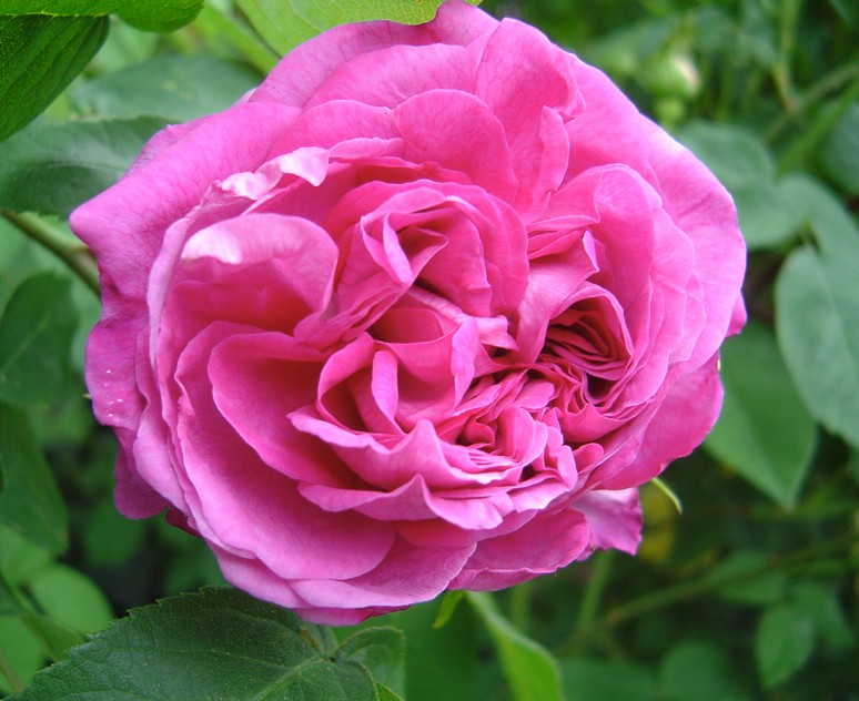 Reine des Violettes (Mille-Malet - 1860) Reine_11