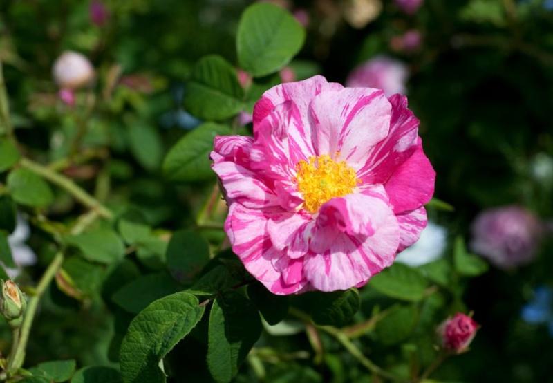 R. gallica versicolor = Rosa mundi Rosa_g10