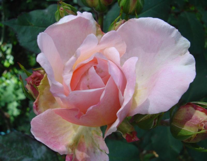 Pink Gruss an Aachen (Kluis - 1929) Rosa_g11