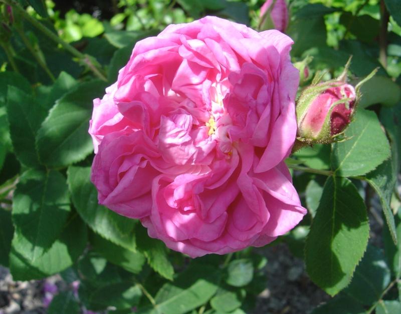 Rose des peintres - Rosa x centifolia major (Origine inconnue - 1587) Rose_d10