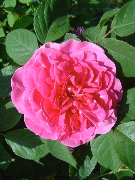 Rose du Roi (Lelieur - 1815) Rose_d11