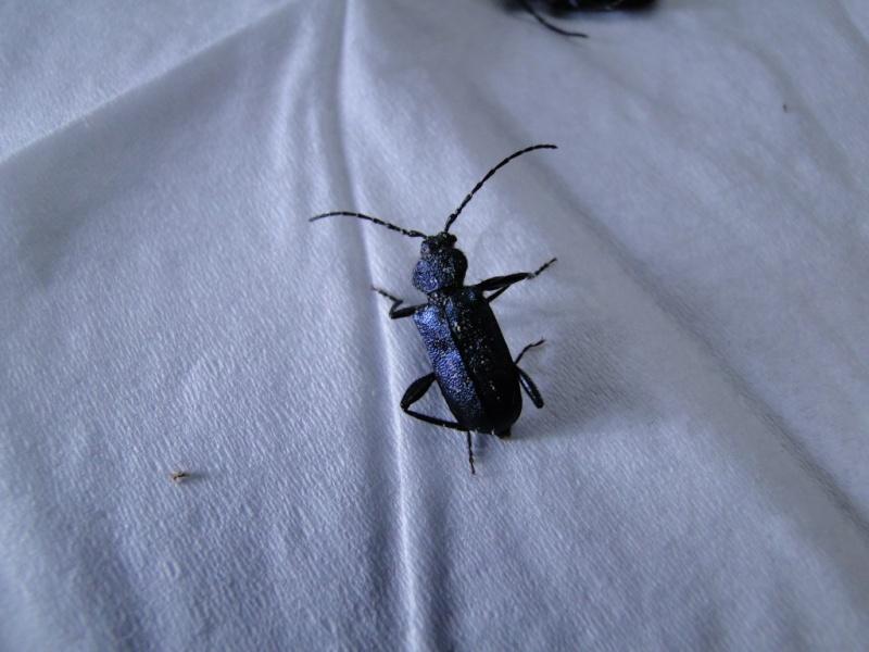Un insecte noir et bleu dans ma maison en bois Dsc07915