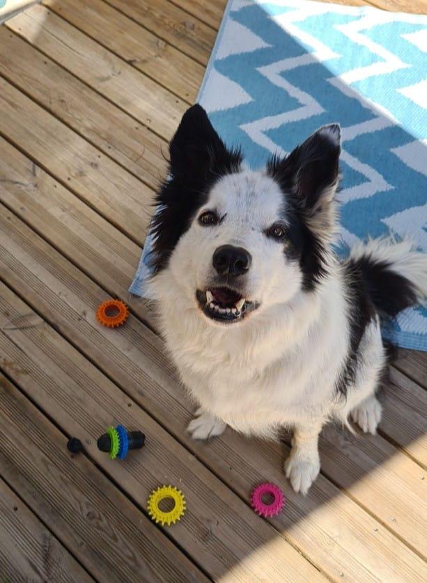 TWISTE (chien mâle border collie noir et blanc) 12470310