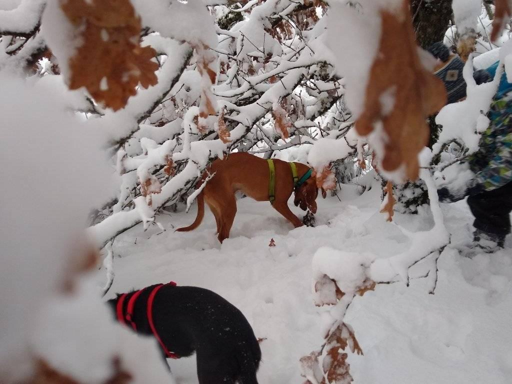 SCAMP (mâle criosé chien courant) 13335710