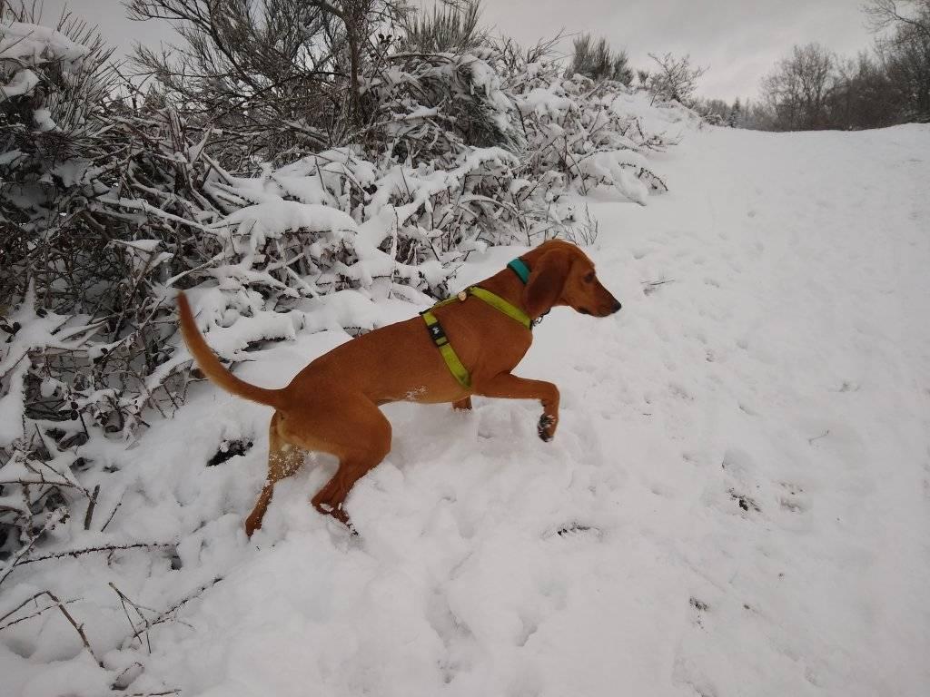 SCAMP (mâle criosé chien courant) 13371410