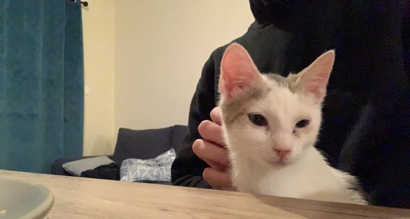 Armany  (chaton grise blanc) 14651711