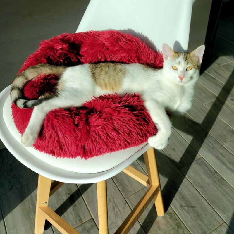 Krokmou (chaton tigre rouX et blanc) 15411010